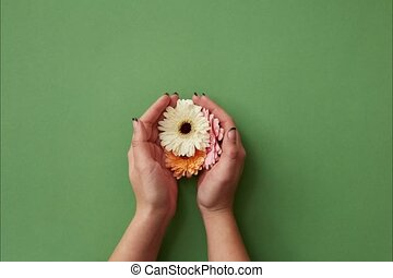 Womans hands open the appearing tender gerberas and form a...