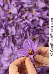 Woman?s hands separates saffron threads from the rest flower
