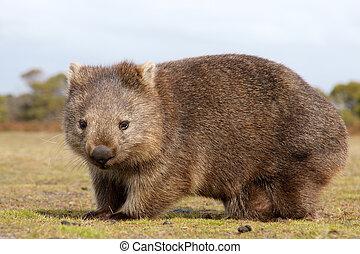Wombat close-up - Close up of wombat in Narawntapu national...