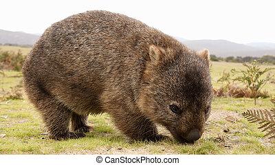 Close up of wombat in Narawntapu national park, Australia