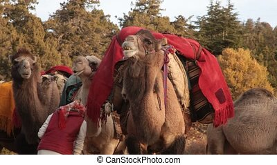 Women and camels prepared for migration. Towards the hot plateaus.