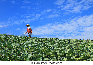Women are working in Cabbage agriculture fields