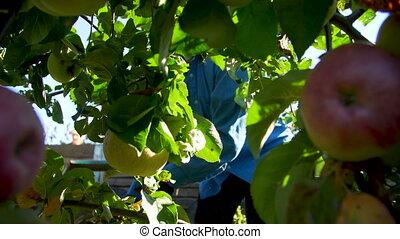 Women hand picking apples in a garden
