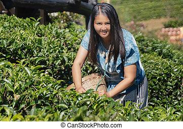 Women hill tribe farmer standing in Green tea field.