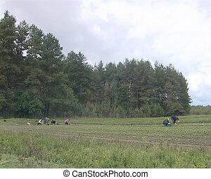 women weed fields - Few women weeding agricultural fields....
