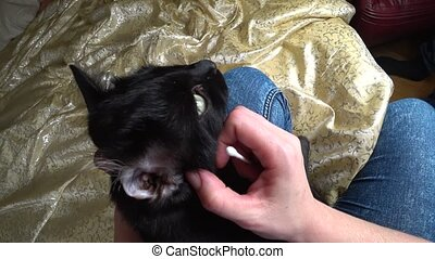 women's hands clean the ears of the cat with a cotton swab,...