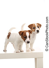 Wonderful jack russell babies. Close up. White background