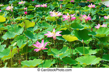 Wonderful landscape lotus flowervietnam travel wonderful wonderful lotus pond vietnam flower mightylinksfo