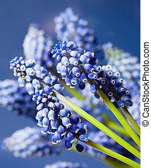 Wonderful muskari bokeh flower