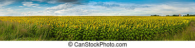 Wonderful panoramic view field of sunflowers