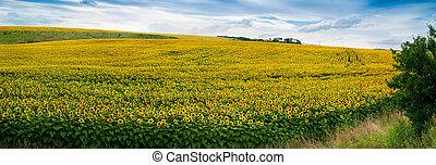 Wonderful panoramic view field of sunflowers