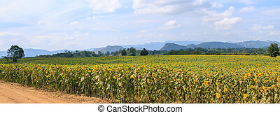 Wonderful panoramic view of sunflowers field under blue sky, Nature summer landscape