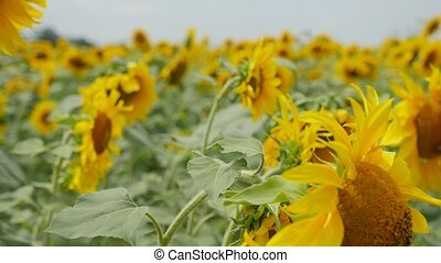 Wonderful sunflowers with slanted heads on an agro area in...