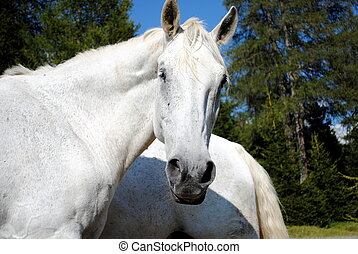 wonderful white male horse looking at camera
