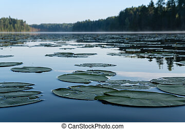 Wonderful wildlife landscape. A beautiful forest lake in an early foggy morning with floating green leaves of water lilies.