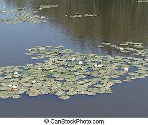 Wonderfully blooming water lilies