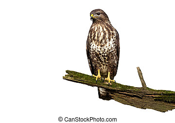 Wondering common buzzard with curious look isolated on white background