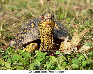 Wondering what's out - Box Turtle in the Grass