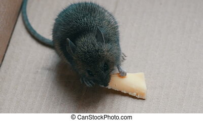 woning, grijs, muis, eten, stuk, van, kaas, in, een, karton