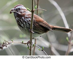 woning, sparrow., foto, taken, op, noordwesten, trek, fauna,...