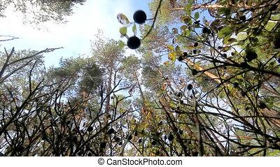wood and black very ripe berries of bilberry