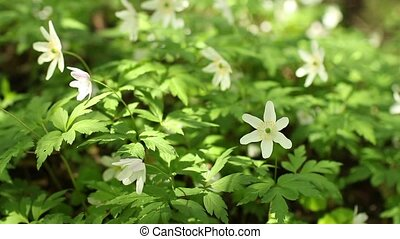 wood anemone Spring primroses Tremble in the wind White...