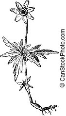Wood anemone, vintage engraving.