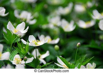 Wood anemones - Spring wild flowers wood anemones close up