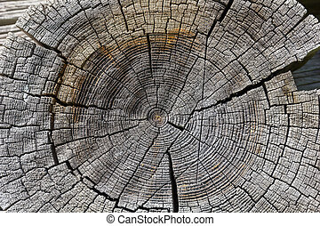 Wood cross section background. Natural wood texture.