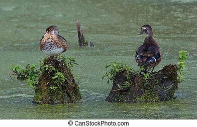 Wood Ducks in a Marsh