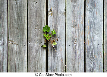 Wood fence with vine