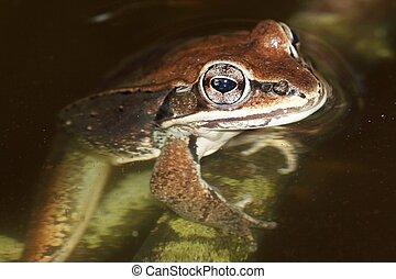 Wood Frog (Rana sylvatica) in a pond