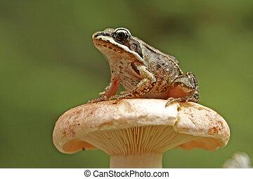 Wood frog (Rana sylvatica) on mushroom