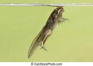 Wood Frog (Rana sylvatica) Pollifrog - Wood Frog (Rana...