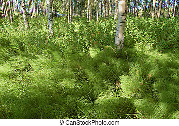 Wood horsetail