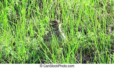 Wood Lark (Lullula arborea)on a green grass