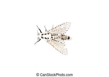 Wood leopard moth Zeuzera pyrina on a white background