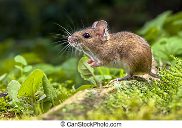 Wood mouse on root of tree - Wild Wood mouse resting on the...