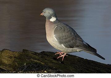 Wood pigeon; Columba palumbus