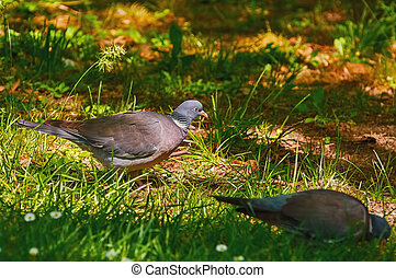 Wood Pigeon on Grass - Two Common Wood Pigeons Looks for ...