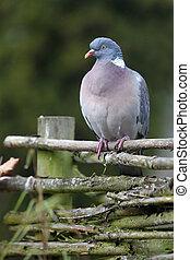 wood pigeon(Columba palumbus)