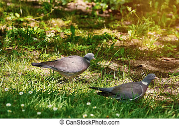 Wood Pigeons on Grass - Two Common Wood Pigeons Looks for ...