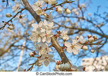 plum full blossom and the background of the blue sky ,white flowers in the spring