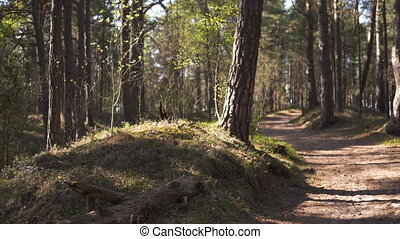Wood road - Baltic eastern europe pine forest with high old...