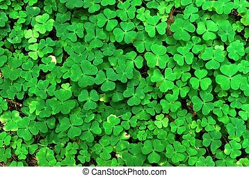 Wood-sorrel (Oxalis acetosella) background. European forest.