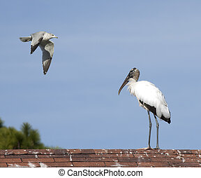 Wood stork and seagull