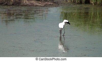 Wood Stork Eating In The Marsh