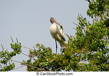 Wood stork in a tree