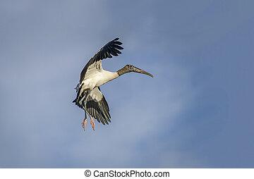 Wood Stork in Flight - Florida