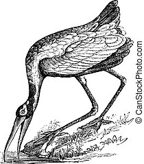 Wood Stork (Tantalus loculator) or Mycteria americana, vintage engraving.